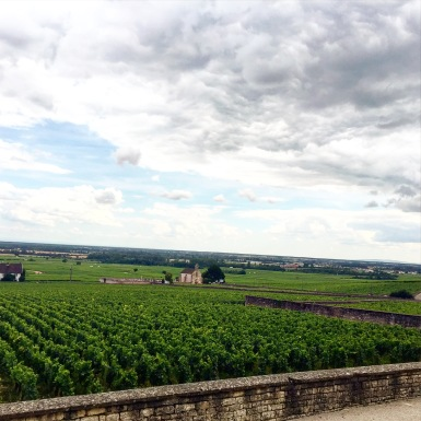 Vines in Meursault